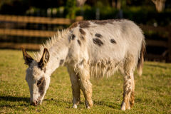 Donkey grazing in a field Stock Photography