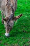 Donkey grazing Royalty Free Stock Photography