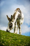 Donkey grazing on grass at Norfolk Broads Royalty Free Stock Photos
