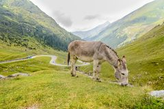 Donkey grazing on the grass Royalty Free Stock Photos