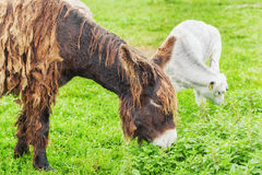 Donkey grazing in a meadow Royalty Free Stock Photos