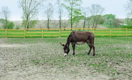 Donkey grazing in spring pasture. By wooden fence royalty free stock photo