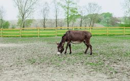 Donkey grazing in spring pasture. By wooden fence stock photo