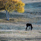 A donkey grazing under a birch tree on the prairie Stock Images
