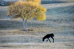 A donkey grazing under a birch tree on the prairie Royalty Free Stock Photos