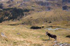 Donkey grazing up in the Carpathians mountains Stock Photography