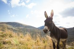 Donkey grazing up in the Carpathians mountains Stock Images