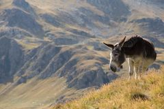 Donkey grazing up in the Carpathians mountains Stock Image