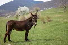 Donkey on green field Stock Images