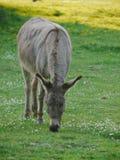 Donkey green meadow Stock Image