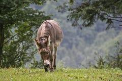 Donkey on green meadow. Donkeys graze on a meadow in the Swiss mountains Stock Photo