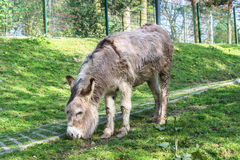 Donkey on a green meadow Royalty Free Stock Images