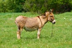 Donkey on a green pasture Stock Photos