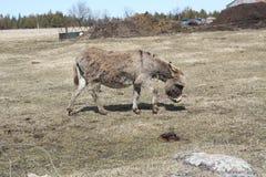 Donkey-Grey Stock Photos