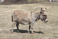 Donkey-Grey Royalty Free Stock Image