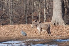 The Donkey and The Guineafowl. In the autumn sun, a donkey and guineafowl stare at each other while standing together on a farm royalty free stock image
