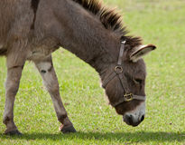 Donkey with Halter Royalty Free Stock Photography
