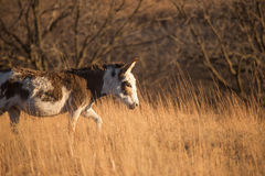Donkey in a hay field Royalty Free Stock Photography