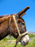 Donkey head. From side profile Stock Image