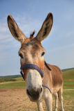 Donkey head Royalty Free Stock Image