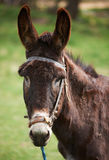 Donkey head Royalty Free Stock Photos