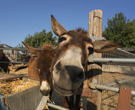 Donkey head close up shot on a farm on Cyprus Royalty Free Stock Photography