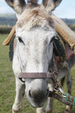 Donkey head detail in the countryside. Terceira. Azores. Portuga Stock Photo