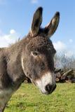 Donkey head Royalty Free Stock Image