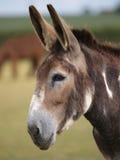 Donkey Head shot Royalty Free Stock Photos