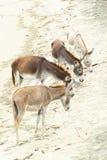 Donkey Heard On The Beach Royalty Free Stock Photo