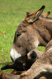 Donkey with her calf. In the grass Royalty Free Stock Photos
