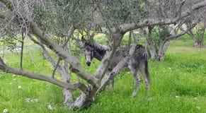 Donkey. A donkey hiding behind a tree Stock Photos