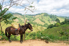 Donkey and Hills. A donkey with lush green hills in the background in rural Colombia Stock Images