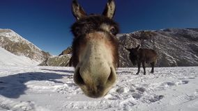 Donkey in Himalayas stock video footage