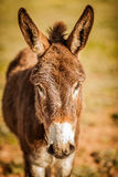 Donkey. With his ears up Stock Images