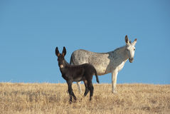 Donkey And His Foal Stock Image