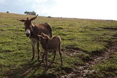 Donkey and his foal Royalty Free Stock Image