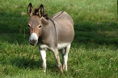 Donkey II Royalty Free Stock Images