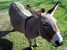 Donkey In Farmyard Stock Images