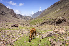 Donkey inToubkal national park, the peak whit 4,167m is the high Stock Images