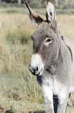 Donkey in ireland Royalty Free Stock Images