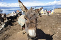 Donkey Isla del Sol Stock Photo