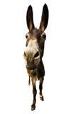 Donkey isolated. Funny donkey with long ears isolated on white Royalty Free Stock Photos