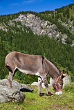 Donkey on Italian Alps Royalty Free Stock Images