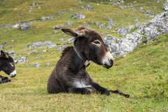 Donkey in the Italian Dolomites seen on the hiking trail Col Raiser, Italy stock photos