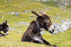 Donkey in the Italian Dolomites seen on the hiking trail Col Raiser, Italy stock photo