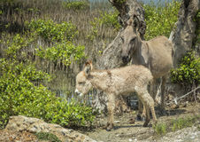 Donkey and its baby in a swamp at Kalpitiya lagoon, Sri Lanka Stock Image