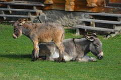 Donkey and jenny-ass are basking in the sun. stock photography