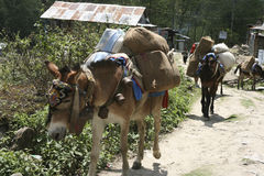 Donkey. KATMANDU, NEPAL - April 14, 2011: Horses carring belongings Stock Photography