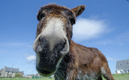 Donkey, Kerry, Ireland Stock Photography
